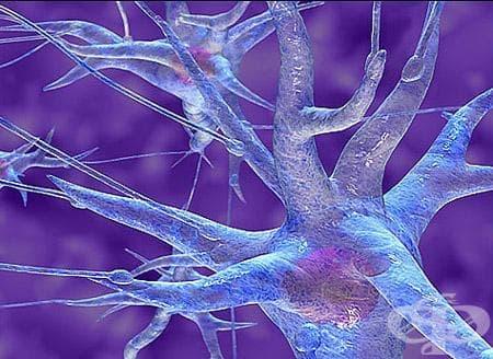Нервна тъкан (Textus nervosus) - изображение